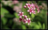Spirea by Jimbobedsel, Photography->Flowers gallery