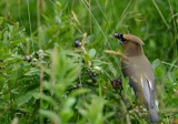 cedar waxwing by unconciousepiphany, Photography->Birds gallery