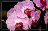 F² Orchids 1 by corngrowth, photography->flowers gallery