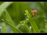 dew and a fly by kodo34, Photography->Insects/Spiders gallery