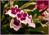 Miltoniopsis Orchids by trixxie17, photography->flowers gallery