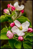 Apple Blossom Time 1 by corngrowth, photography->flowers gallery
