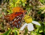 Gulf Fritillary 2 by rhelms, photography->butterflies gallery