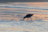 Breakfast on the beach by ted3020, photography->birds gallery