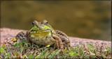 Calendar Croaker by tigger3, photography->reptiles/amphibians gallery