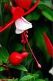 F³ (Foofy Friday Fuchsia) by corngrowth, photography->macro gallery