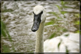 Trumpeter Swan by Jimbobedsel, photography->birds gallery