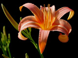 Floral flames by Paul_Gerritsen, Photography->Flowers gallery