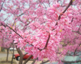 Oklahoma Red Bud: Thanks for the prayers by angelledaemon, Photography->Flowers gallery