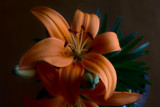 Orange Lilium by elektronist, photography->flowers gallery