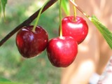 Ripe Red Cherries by hiker, Photography->Food/Drink gallery