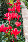 Cyclamens, All in a Row by Pistos, photography->flowers gallery