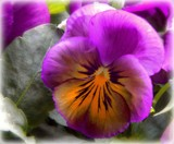 2015 Pansies - Coastal Sunrise by trixxie17, photography->flowers gallery