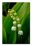 Lily Of The Valley by gerryp, Photography->Flowers gallery