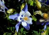 Blue Columbine by trixxie17, photography->flowers gallery