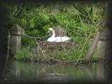 Swanest by projoe, photography->birds gallery