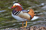 Mandarin Duck by Paul_Gerritsen, photography->birds gallery