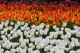 Tulips - III by Paul_Gerritsen, Photography->Flowers gallery