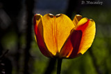 Lone Tulip Booms by Jalexa, photography->flowers gallery