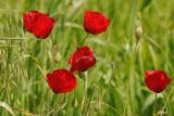 Poppies by elektronist, photography->nature gallery