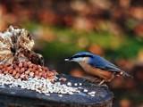 Keep ya nuts by biffobear, photography->birds gallery