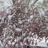 Dogwood under a White Blanket by angelledaemon, Photography->Flowers gallery