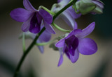 Purple Orchids by Pistos, photography->flowers gallery