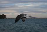 Sea Gull in Flight by jrasband123, Photography->Birds gallery