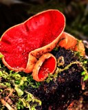 scarlet elfcup fungus by Lin_O, photography->mushrooms gallery