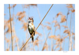 Great Reed Warbler #2 by Toto_san, Photography->Birds gallery