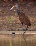 LIMPKIN Aramidae by jeenie11, photography->birds gallery