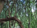 Kind Embrace of the Beech Willow by Pjsee16, photography->nature gallery