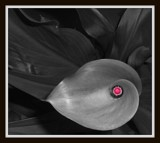 Calla Selective Color by ccmerino, Photography->Manipulation gallery