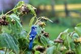 Bluejay Feast by richwn, Photography->Birds gallery