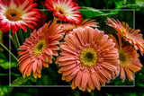 Gerbera's by corngrowth, photography->flowers gallery