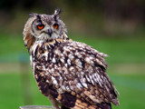 An Eagle Owl by nomis, Photography->Birds gallery