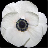 White Poppy by ccmerino, photography->flowers gallery