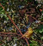 Little Yella by biffobear, photography->birds gallery