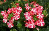 Superbena Cherryburst Royale by trixxie17, photography->flowers gallery