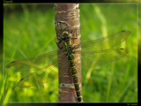 Dragonfly by Larser, photography->insects/spiders gallery