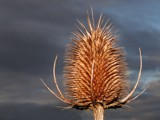 Teasel by Si, Photography->Flowers gallery