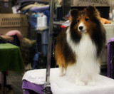 Dog Show Contender #3 by tigger3, photography->pets gallery
