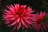 In The Dahlia Garden #7 Spiky Red by LynEve, photography->flowers gallery