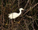 Snow Egret by garrettparkinson, photography->birds gallery