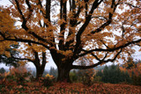 The Mighty Oaks Have it !! by verenabloo, Photography->Nature gallery