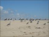 Gulls of Barrinha.3 by apofix, photography->birds gallery