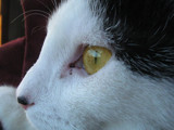 cat by pomyena, photography->pets gallery