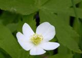 Woodland Anemone by trixxie17, photography->flowers gallery