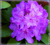 Lavender Rhodedendrum by trixxie17, photography->flowers gallery