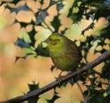 greenfinch by owldgirl, photography->birds gallery